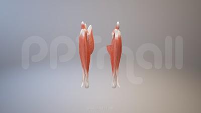3D人体肌肉组织-腓肠肌模型PPT素材下载
