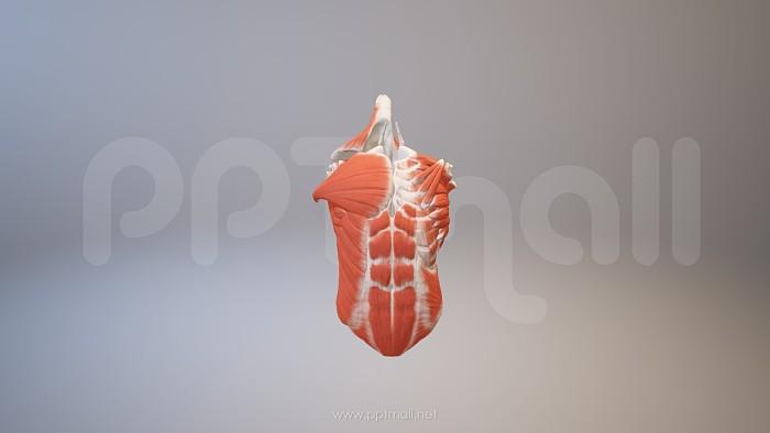 胸肌PPT模板下载