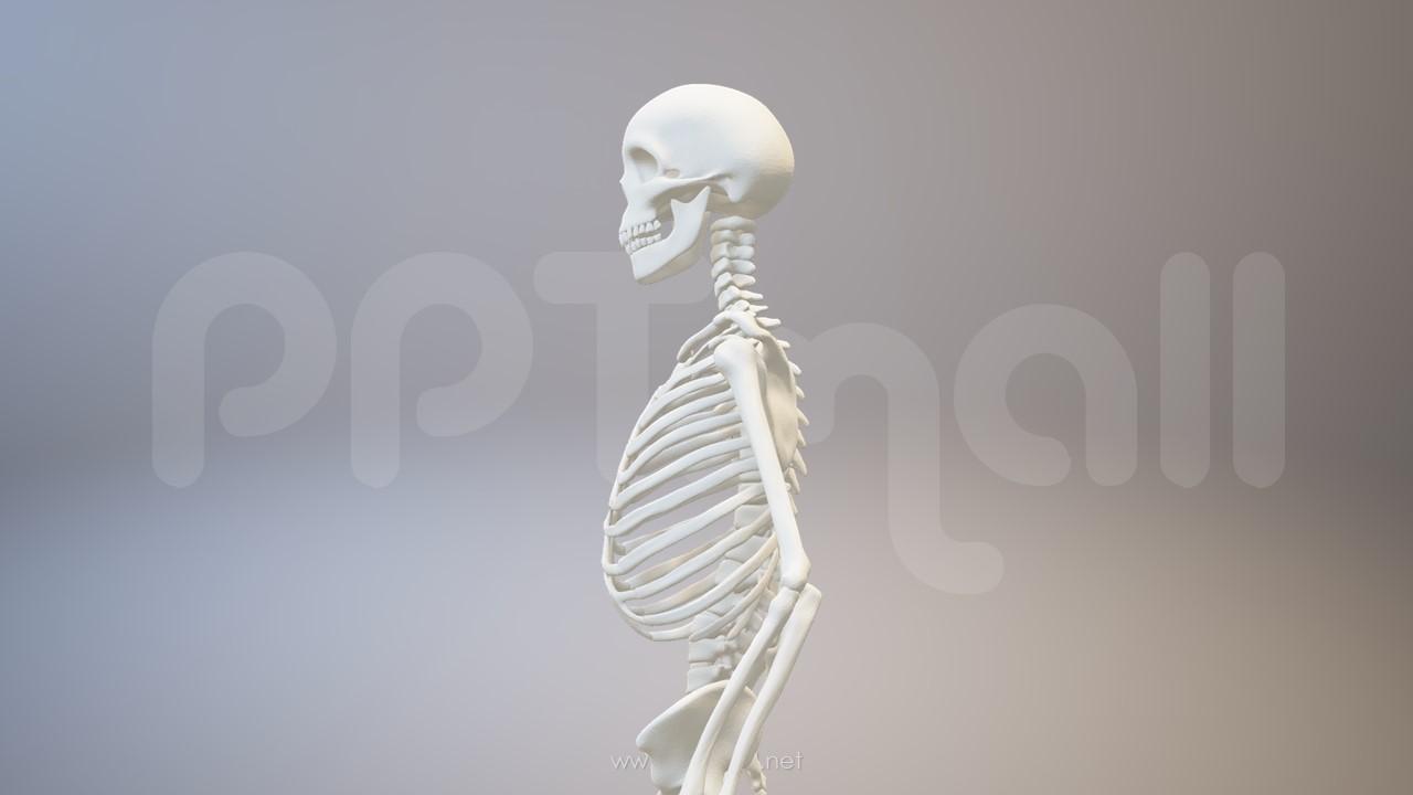 3D人体肌肉组织-骨架模型PPT素材下载