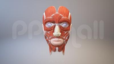 3D人体肌肉组织-脸部肌肉模型PPT素材下载