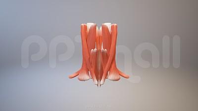 3D人体肌肉组织-斜方肌、胸锁乳突肌模型PPT素材下载