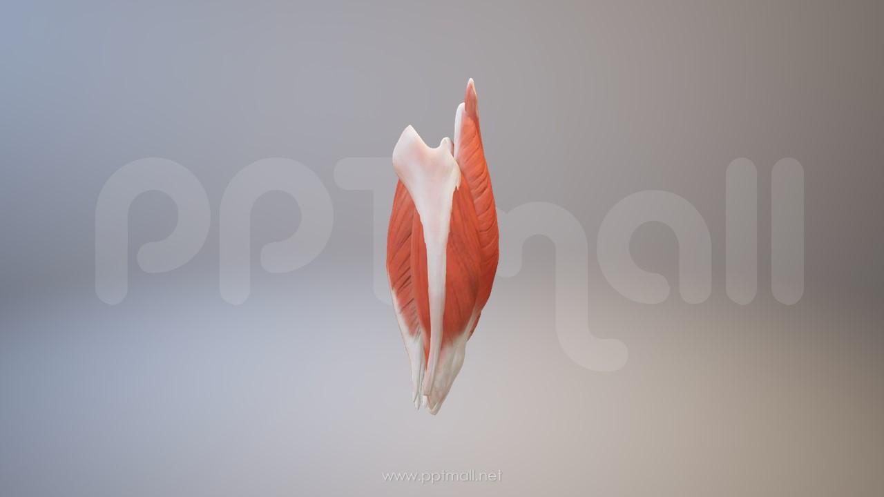 3D人体肌肉组织-股二头肌模型PPT素材下载