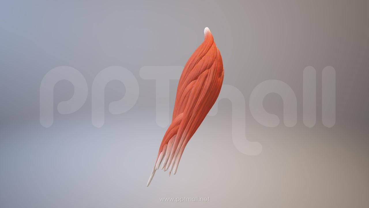 3D人体肌肉组织-前臂肌肉模型PPT素材下载