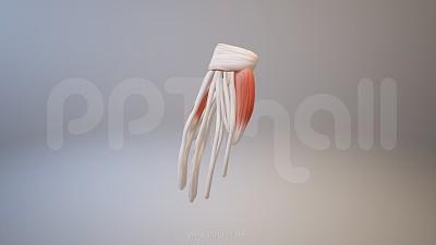 3D人体肌肉组织-手掌骨架模型PPT素材下载