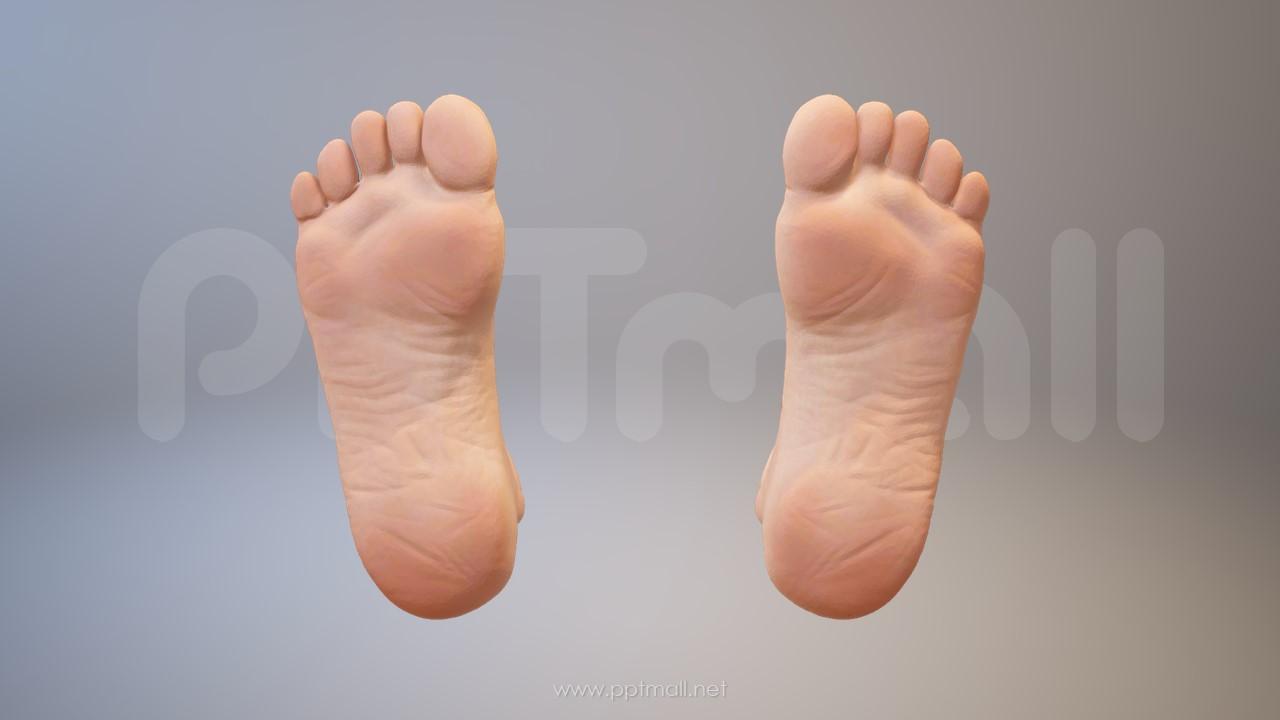 3D人体肌肉组织-脚掌PPT素材下载