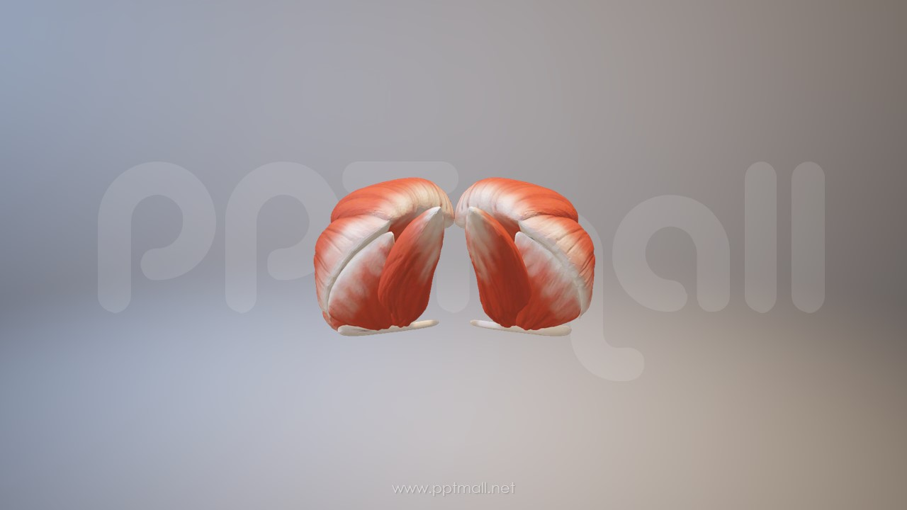 3D人体肌肉组织-臀大肌模型PPT素材下载